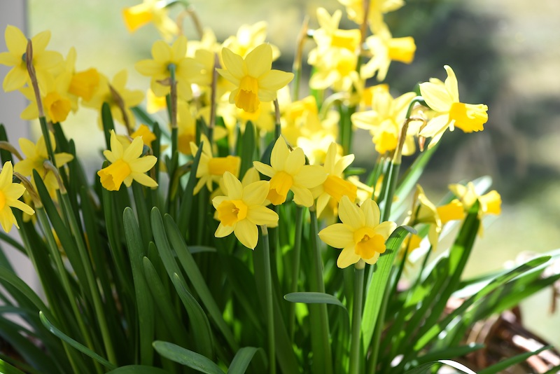 Photo of daffodils blooming